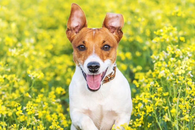 Aussie pet, dog
